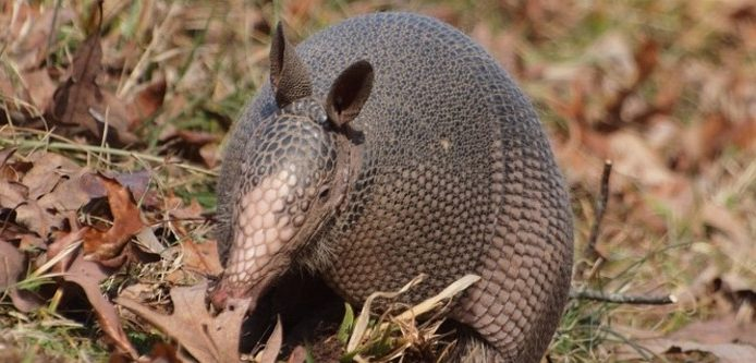 Best Armadillo Repellent - Buyer's Guide 5