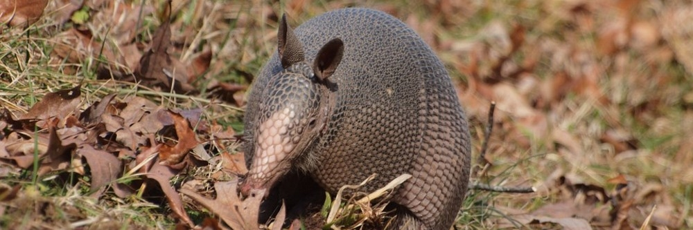 Best Armadillo Repellent - Buyer's Guide 1