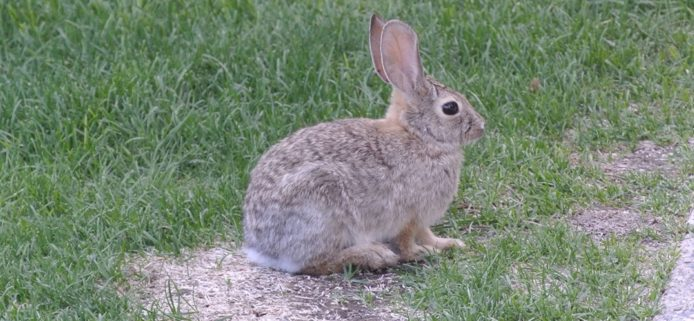 Best Rabbit Repellent for Lawns - Buyer's Guide 1