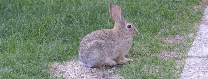 Best Rabbit Repellent for Lawns - Buyer's Guide 2